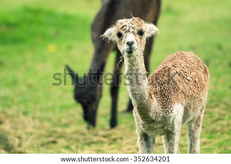 Baby Alpaca, also called Cria in a field during the day in Queensland - stock photo