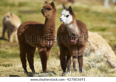 Baby Alpaca (Lama pacos) on a wetland in Lauca National Park, northern Chile. - stock photo