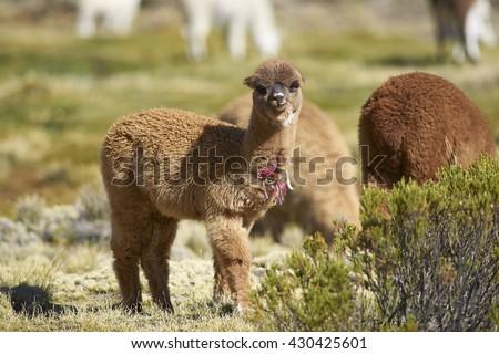 Alpaca Stock Photos Royalty Free Images Amp Vectors