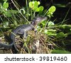 Baby American Alligator (Alligator Mississippiensis) basking in the sun in the Florida Everglades - stock photo