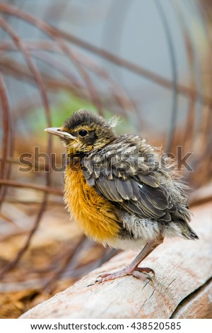 Baby American Robin perched on a garden tie, looking awkwardly cute. - stock photo