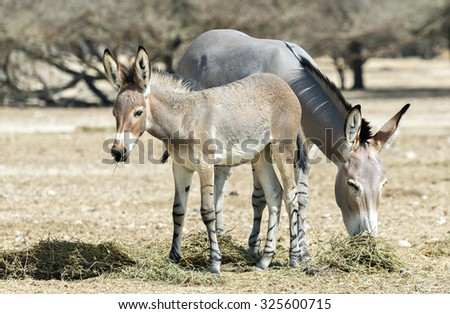 Baby and adult of Somali wild donkey (Equus africanus). This species is the forefather of all domestic asses and extremely rare both in wild and in captivity.