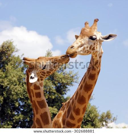 Baby and mother giraffe. Maternal instinct. A pair of giraffe entwining their necks - stock photo