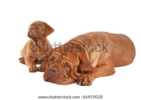 Baby and Mother. Puppy and big Dogue De Bordeaux on white background - stock photo