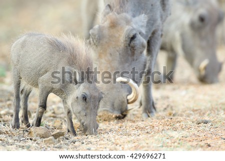 Baby and parent warthogs eating dry grass, Kruger National Park