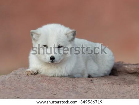 Baby Arctic fox (Vulpes lagopus) full body portrait - stock photo