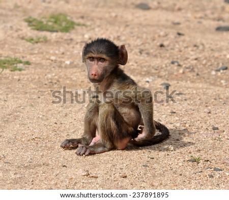 Baby baboon - stock photo