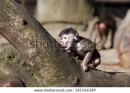 baby baboon in a zoo