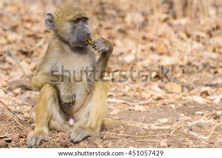 baby baboon in Botswana, South Africa - stock photo