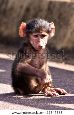 Baby Baboon in Kruger national park