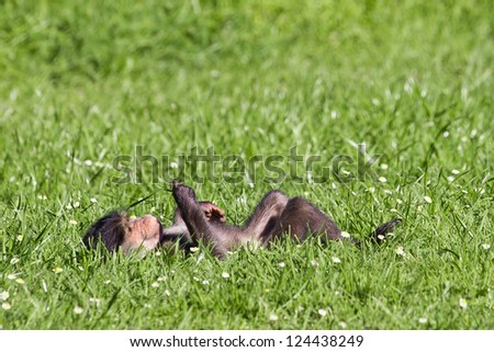 Baby baboon lying on back in green pasture contemplating - stock photo