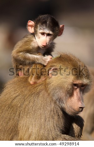 Baby baboon monkey sitting on its mother - stock photo