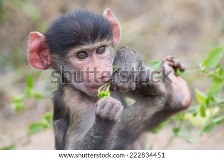 Baby baboon portrait looking very confused in close-up - stock photo