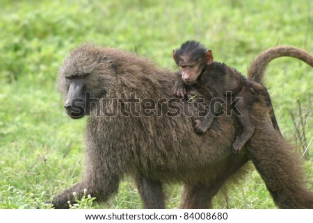 Baby baboon riding on its mother's back
