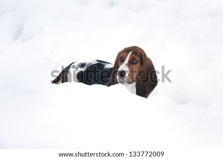 baby basset hound puppy in deep snow in a Canadian winter - stock photo