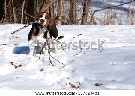 baby basset hound puppy playing with a stick in snow on a sunny day - stock photo