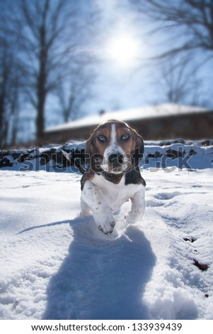 baby basset hound puppy running towards the viewer with funny facial expression - stock photo