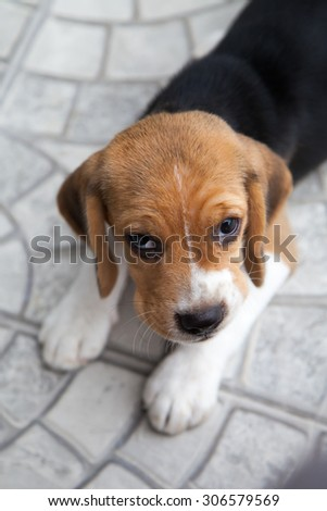 Baby beagle is playing and eating in a house - stock photo