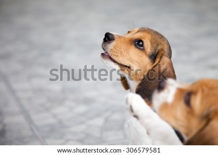 Baby beagle is playing and eating in a house