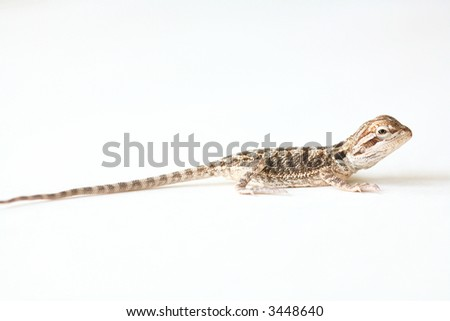 Baby Bearded Dragon:  A baby bearded dragon, native to Australia, isolated on white. - stock photo