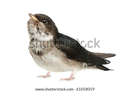 Baby bird of a swallow on a white background - stock photo