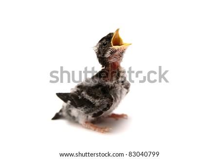 Baby bird of Sand Martin swallow (Riparia riparia) isolated on white - stock photo