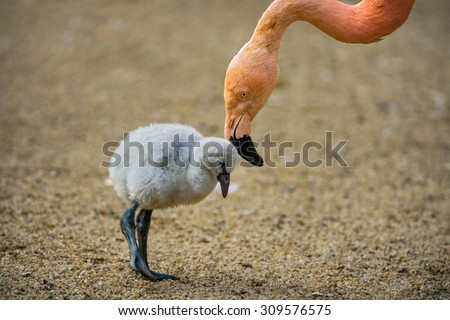 Baby bird of the American flamingo (Phoenicopterus ruber) with its mother. - stock photo