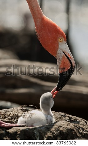 Baby bird of the Caribbean flamingo. A warm and fuzzy baby bird of the Caribbean flamingo near to the parent. - stock photo
