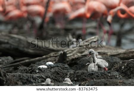 Baby bird of the Caribbean flamingo in a nest. A warm and fuzzy baby bird Caribbean flamingo in a nest. - stock photo