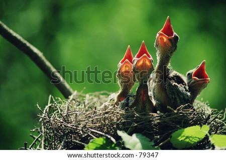 Baby birds - stock photo