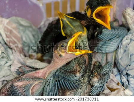 baby birds hungry in nest. - stock photo