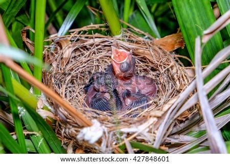 Baby birds in a nest - stock photo