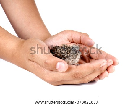 Baby birds in hand isolated on white background.