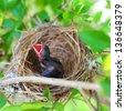 Baby Birds in Nest - stock photo