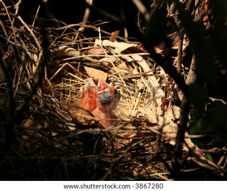 Baby Birds in nest, Cardinals 1 Day old - stock photo