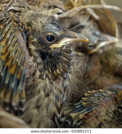 Baby Birds Nest Closeup Wildlife Background - Close-up view of a baby robin bird eye, and colorful feathers in a nest. - stock photo
