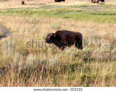 Baby Bison (buffalo) at Yellowstone National Park