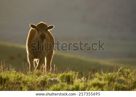 Baby Bison Buffalo in Yellowstone National Park backlit with rim lighting standing in a lush meadow of prairie grasses and sage brush in Lamar Valley in summer time  family vacation wildlife viewing - stock photo