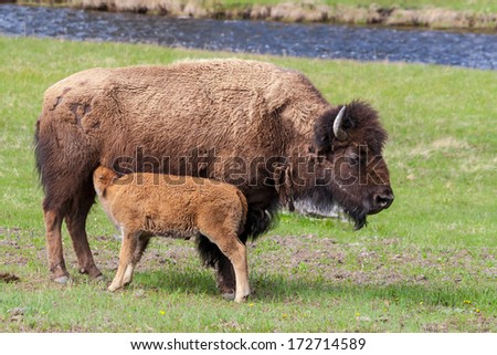 Baby bison calf feeding - stock photo