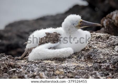 Baby Blue-Footed Boobies on Grand Seymore Island, Galapagos Islands, Ecuador - stock photo
