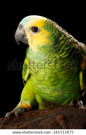Baby Blue-fronted Amazon shoot in studio, black background - stock photo
