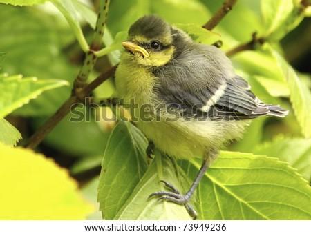 Baby blue tit, chick - stock photo