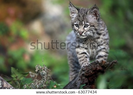 Baby Bobcat against a blurred background.