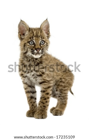 Baby bobcat gracefully posing for the camera - stock photo