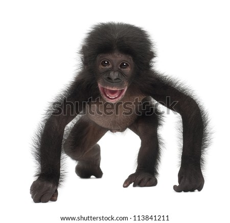 Baby bonobo, Pan paniscus, 4 months old, walking against white background - stock photo