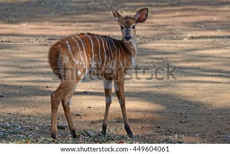 Baby Buck - stock photo