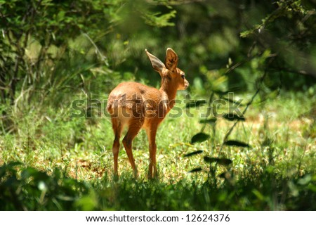 Baby buck walking through the trees (Mabalingwe; South Africa) - stock photo