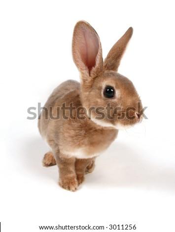 Baby Bunny on white background. - stock photo