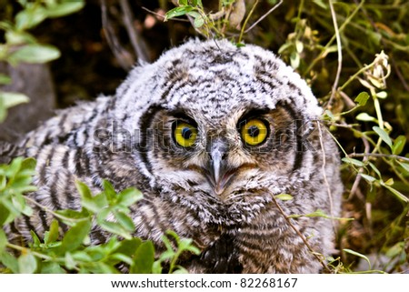 baby burrowing owl athene cunicularia - stock photo