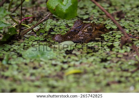 Baby caiman waiting for pray - stock photo